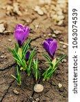 single blooming purple flower...   Shutterstock . vector #1063074539