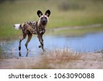 Small photo of African Wild Dog, Lycaon pictus, walking in water, staring directly at camera.