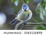 Bluetit Bird Tree
