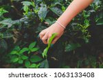 women's hand collects the green ... | Shutterstock . vector #1063133408