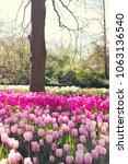 tulip field in spring   Shutterstock . vector #1063136540