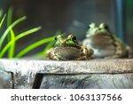 bullfrog  rana lithobates ... | Shutterstock . vector #1063137566