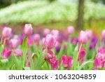 beautiful of colorful tulip... | Shutterstock . vector #1063204859