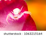 Tiny Small Crab Spider On Pink...
