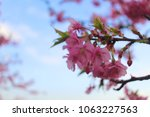 sakura flowers at japan | Shutterstock . vector #1063227563