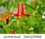 Small photo of Scarlet gilia wild flower Washington Cascades close up