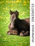 black fell pony foal laying... | Shutterstock . vector #1063260713