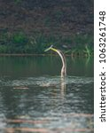 Small photo of A darter aka snake bird with a fish in it beak, which it caught in the lakes of bharatpur