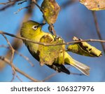 A Small Cape White Eye Bird...