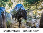 portrait of yak with heavy load ... | Shutterstock . vector #1063314824