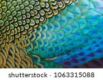 beautiful feathers of male...   Shutterstock . vector #1063315088