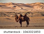domesticated camel pegged to... | Shutterstock . vector #1063321853