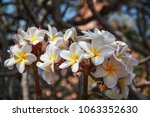 the plumeria flowers | Shutterstock . vector #1063352630