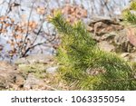 pine tree conifer with many... | Shutterstock . vector #1063355054
