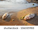 Two Dead Fish On A Polluted...