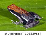 Small photo of Ruby Poison Frog (Ameerega bilinguis) in rainforest, Ecuador
