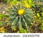 ferocactus echidne  a barrel... | Shutterstock . vector #1063420790