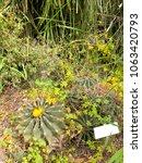 ferocactus echidne  a barrel... | Shutterstock . vector #1063420793