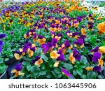 Field Of Viola Tricolor  Johnn...