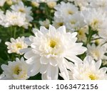 white chrysanthemum flower. | Shutterstock . vector #1063472156