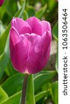 Small photo of Closeup of a Tulip flower of the Blue Amiable type