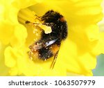 Closeup Bumblebee In Daffodil...