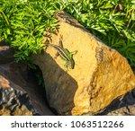 lizard is basking in the stone... | Shutterstock . vector #1063512266