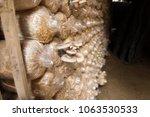 cultivation of angel mushrooms. ... | Shutterstock . vector #1063530533