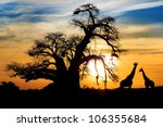 Spectacular Sunset With Baobab...