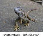 close up of an iguana looking... | Shutterstock . vector #1063561964
