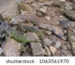 big and small iguanas lying in... | Shutterstock . vector #1063561970