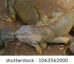two iguanas share a green leaf... | Shutterstock . vector #1063562000