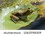 American Bullfrog on a lily pad