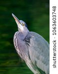 grey heron  ardea cinerea | Shutterstock . vector #1063603748