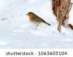 robin  erithacus rubecula .... | Shutterstock . vector #1063605104