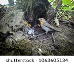 erithacus rubecula. the nest of ... | Shutterstock . vector #1063605134