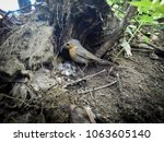 erithacus rubecula. the nest of ... | Shutterstock . vector #1063605140