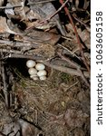 erithacus rubecula. the nest of ...   Shutterstock . vector #1063605158