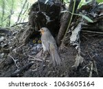 erithacus rubecula. the nest of ...   Shutterstock . vector #1063605164