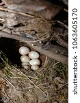 erithacus rubecula. the nest of ...   Shutterstock . vector #1063605170