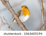 robin  erithacus rubecula ....   Shutterstock . vector #1063605194