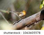 robin  erithacus rubecula .... | Shutterstock . vector #1063605578