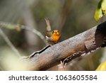 robin  erithacus rubecula .... | Shutterstock . vector #1063605584