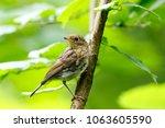 robin  erithacus rubecula .... | Shutterstock . vector #1063605590
