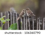 Two House Sparrows  Passer...