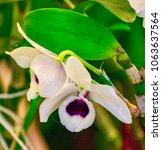 nun s hood orchid phaius... | Shutterstock . vector #1063637564