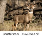 Oklahoma Whitetail Buck 6