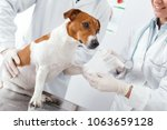 Small photo of Fracture of the paw of the dog, impose a plaster