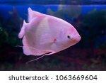 giant gourami fish  osphronemus ... | Shutterstock . vector #1063669604