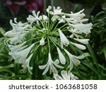 Agapanthus African Lily Lily O...